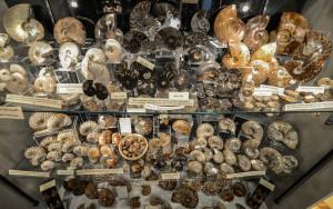 Assorted Ammonites